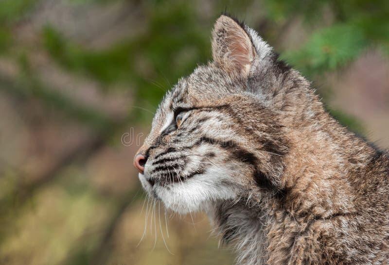 Perfil de Bobcat Kitten (rufus del lince) foto de archivo libre de regalías