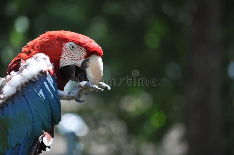 Perfil de comer vermelho, branco, e azul colorido do papagaio da arara foto de stock
