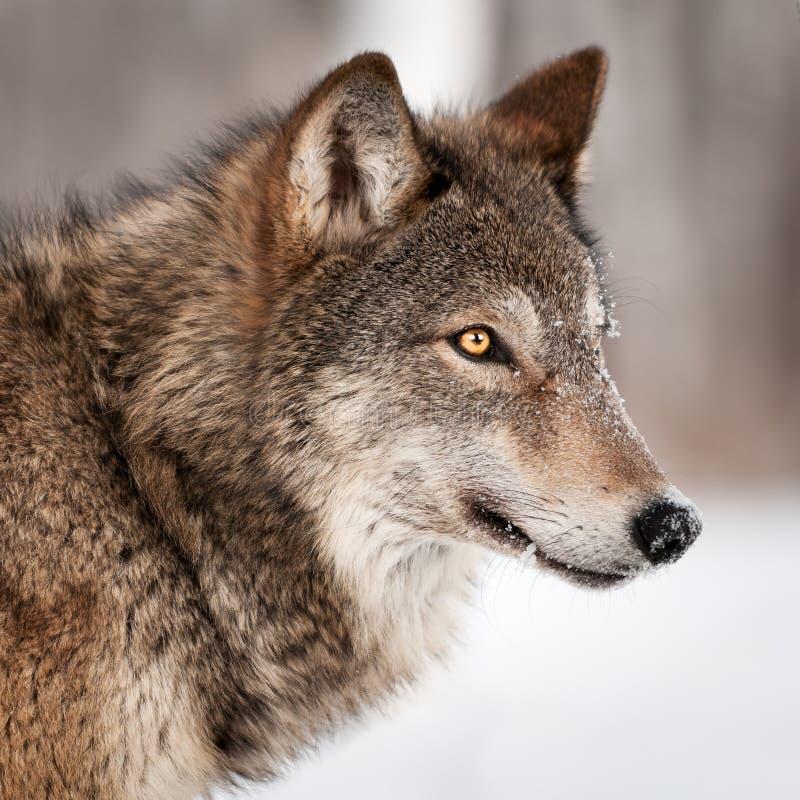 Perfil de Grey Wolf (lúpus de Canis) foto de stock royalty free