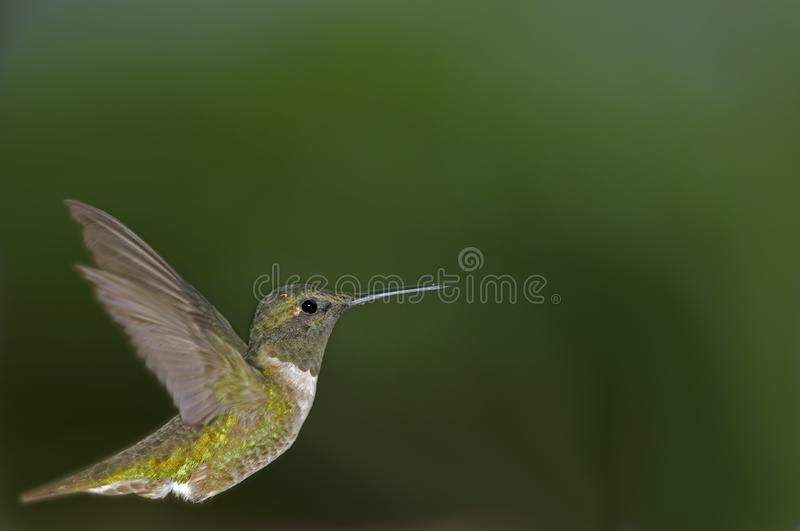 Perfil de Humingbird fotos de stock royalty free