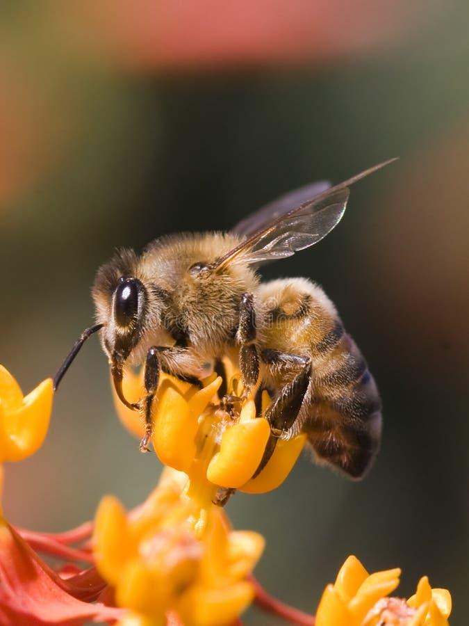 Perfil de la abeja imagen de archivo libre de regalías