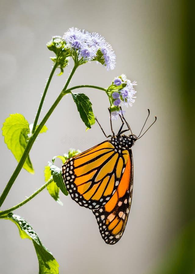 Perfil de la consumición de la mariposa de monarca imagen de archivo libre de regalías