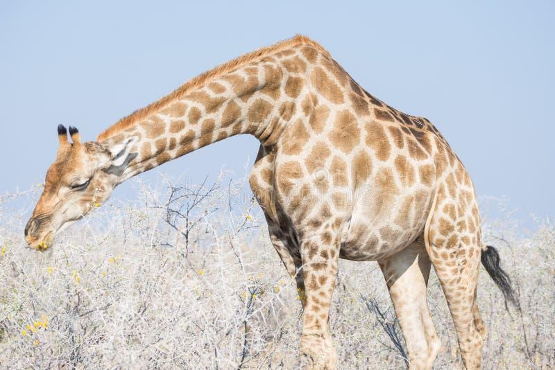 Perfil de la jirafa en el arbusto, el cierre ascendente y el retrato Safari de la fauna en el parque nacional de Kruger, el desti imágenes de archivo libres de regalías