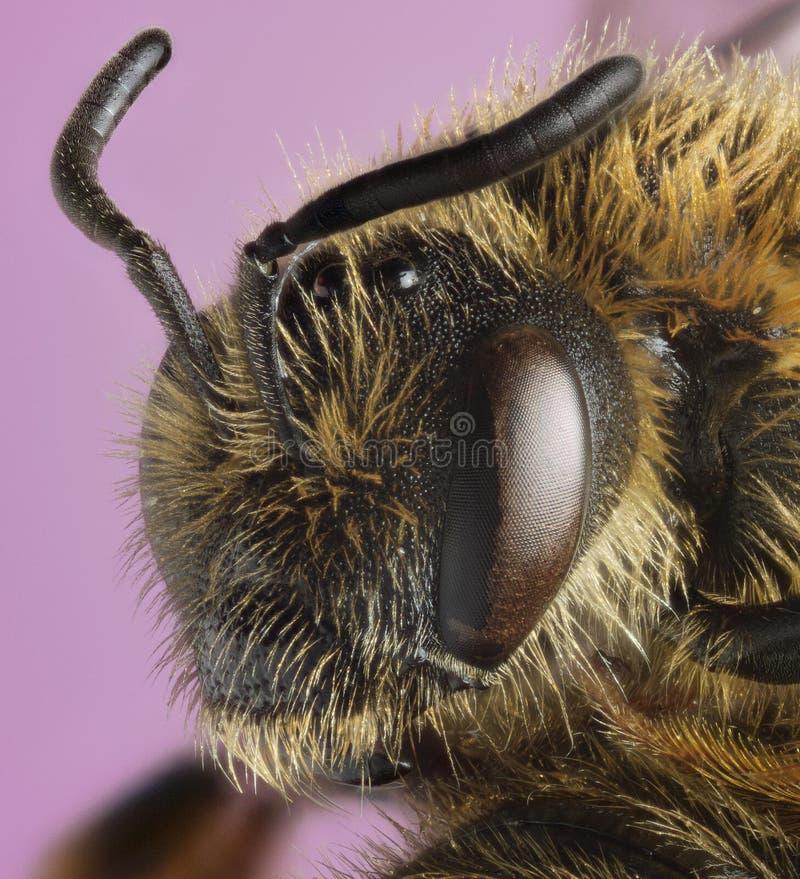 Perfil de la macro de la abeja del minero fotografía de archivo libre de regalías