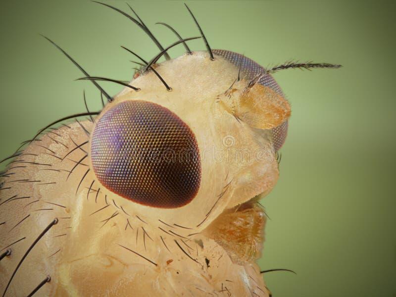 Perfil de la mosca del vinagre fotografía de archivo libre de regalías
