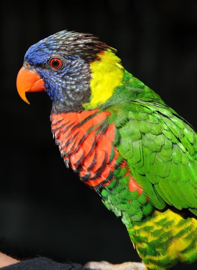 Perfil de Lorikeet del arco iris foto de archivo libre de regalías