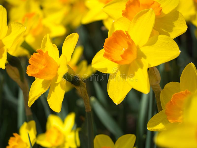 Perfil de narcisos amarelos amarelos e alaranjados fotografia de stock