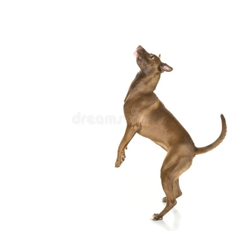 Perfil de salto do cão isolado no branco fotografia de stock royalty free