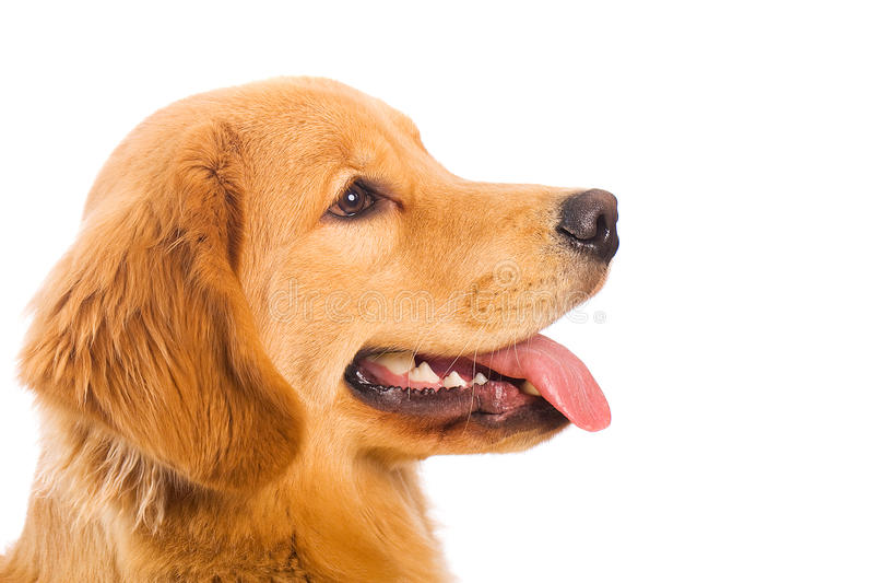 Perfil de um cão do Retriever dourado fotos de stock