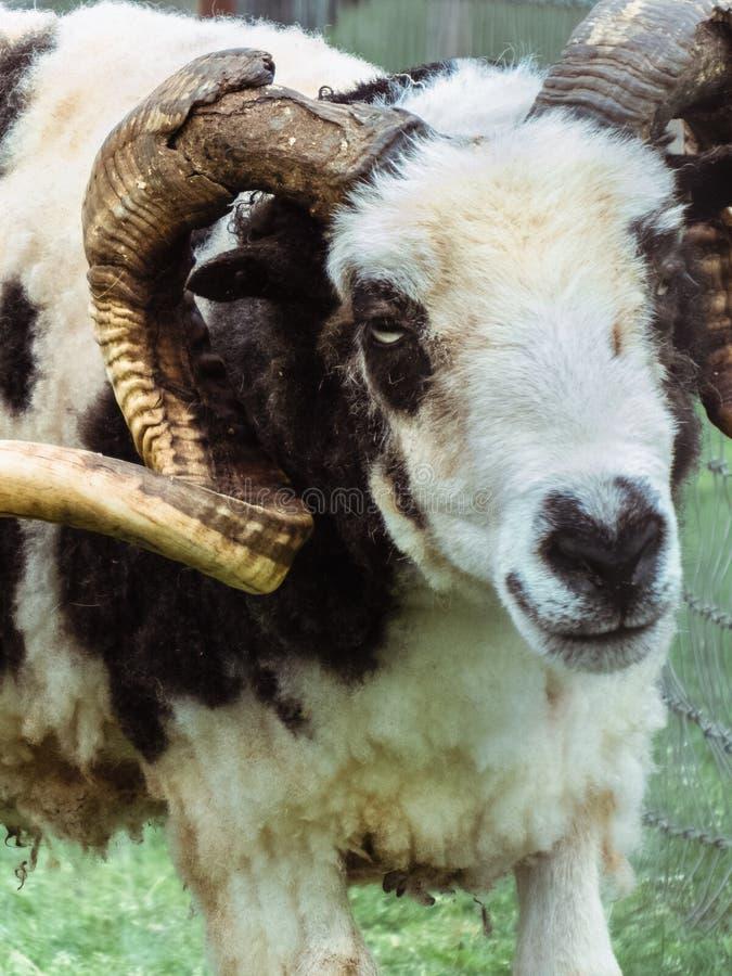 Perfil de um Ram preto e branco foto de stock