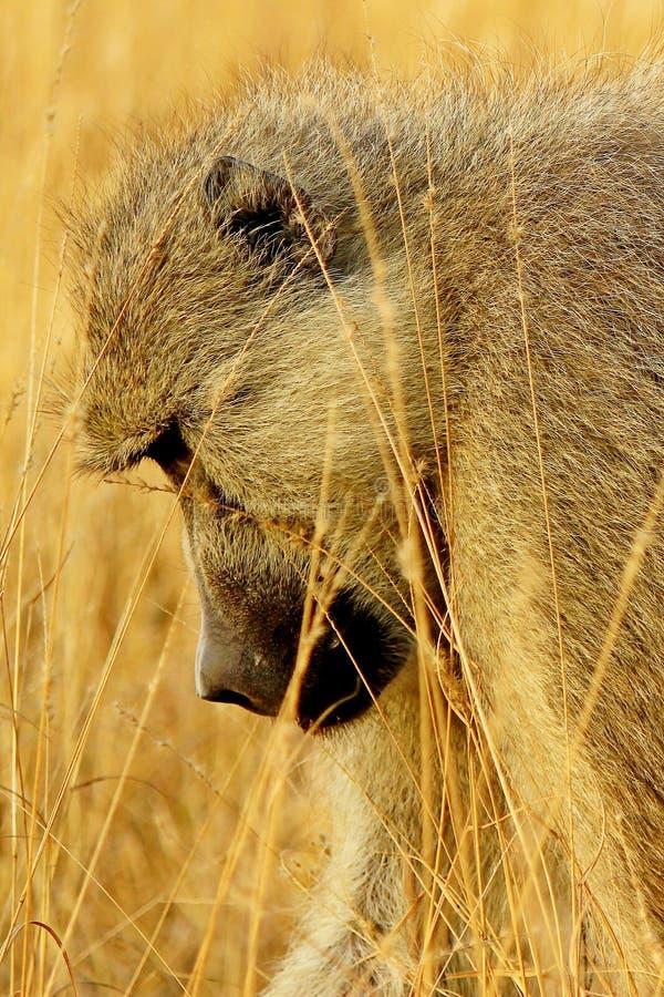 Perfil de un babuino africano fotos de archivo