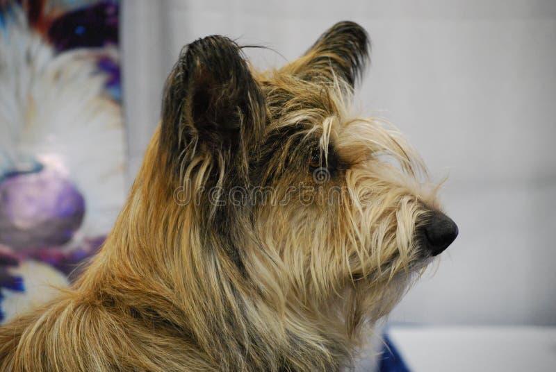 Perfil de un perro de Berger Picard imagenes de archivo