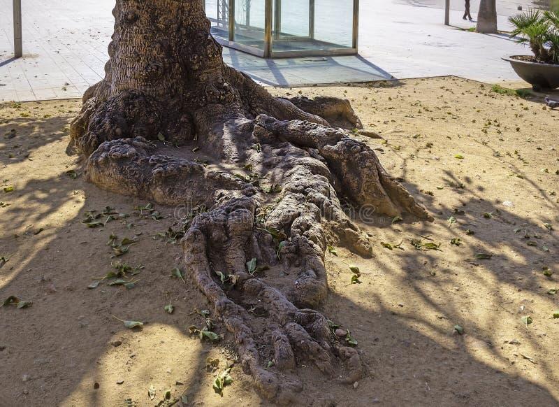 Perfil de una raíz de árbol grande con sombras del tronco y ramas fotos de archivo libres de regalías