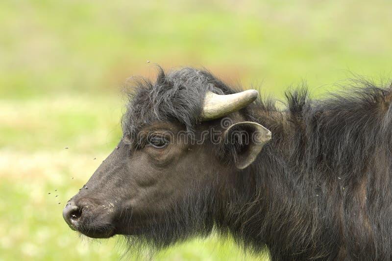 Perfil del búfalo de agua juvenil foto de archivo