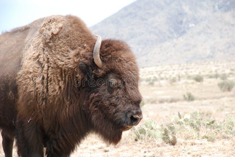 Perfil del bisonte americano de cuernos rizado del búfalo fotografía de archivo libre de regalías