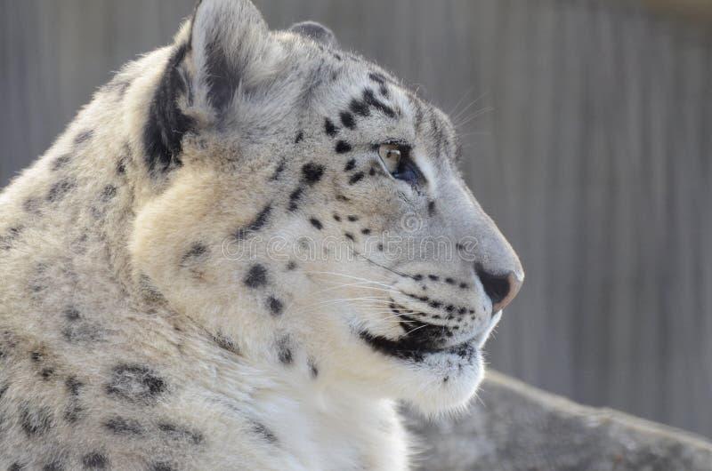 Perfil del leopardo de nieve fotografía de archivo