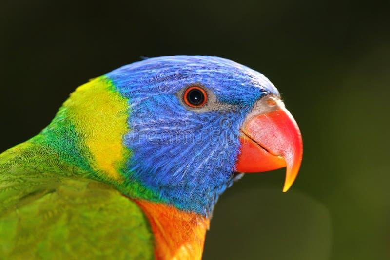 Perfil del lorikeet del arco iris fotografía de archivo libre de regalías