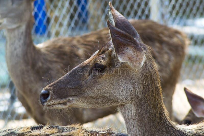 Perfil del niño de los ciervos de Sika foto de archivo libre de regalías