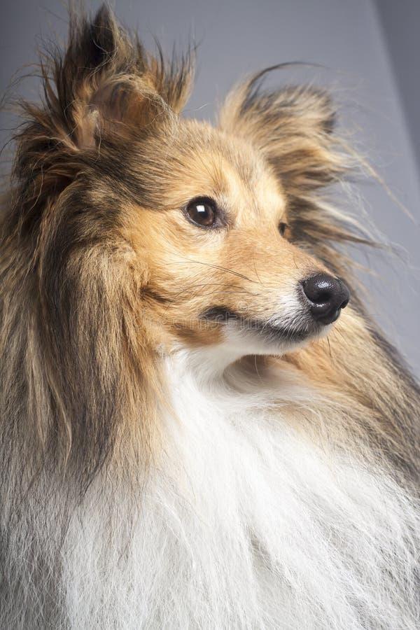 Perfil del perro pastor de Shetland del Sable fotografía de archivo libre de regalías