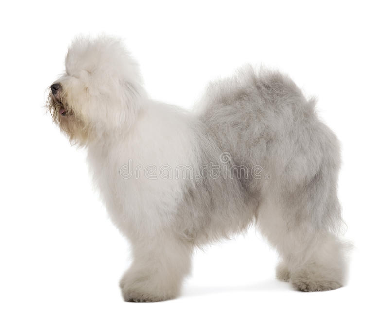 Perfil del perro pastor inglés, colocándose foto de archivo