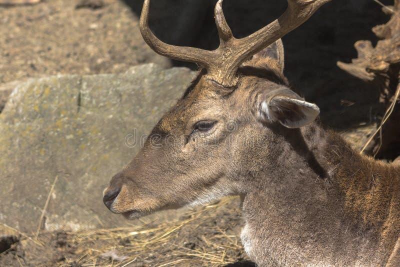 Perfil del retrato de un ciervo en barbecho imágenes de archivo libres de regalías