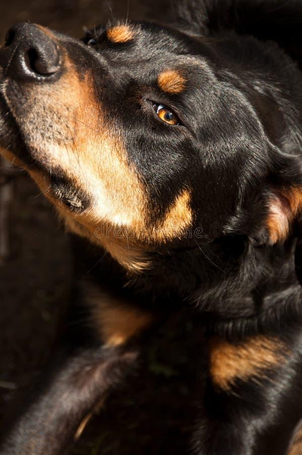 Perfil do cão imagens de stock