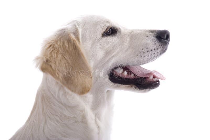 Perfil do cão de filhote de cachorro imagens de stock royalty free
