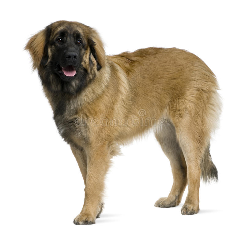 Perfil do cão de Leonberger, estando fotografia de stock