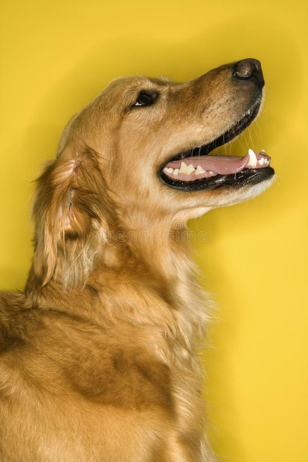 Perfil do cão do Retriever dourado. fotos de stock