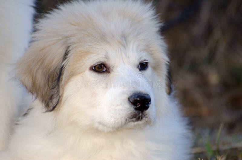Perfil do cachorrinho de grandes Pyrenees imagens de stock