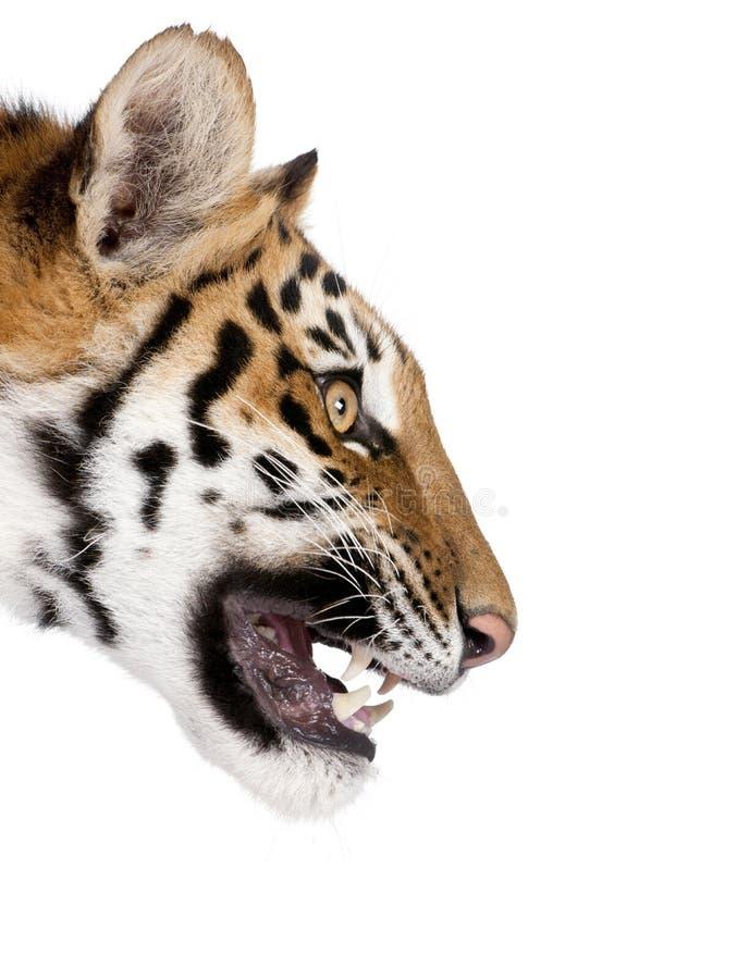 Perfil do close-up de rosnar do tigre de Bengal imagem de stock royalty free
