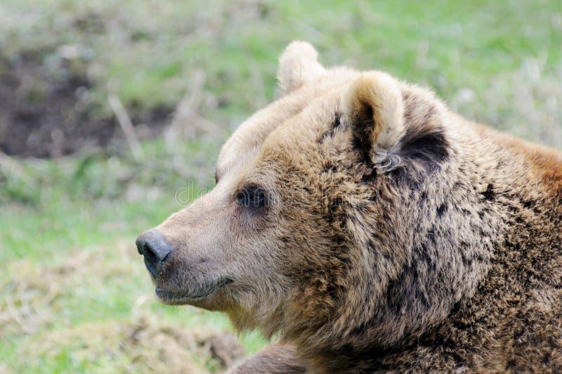 Download Perfil do urso de Brown foto de stock. Imagem de olhar - 29828316