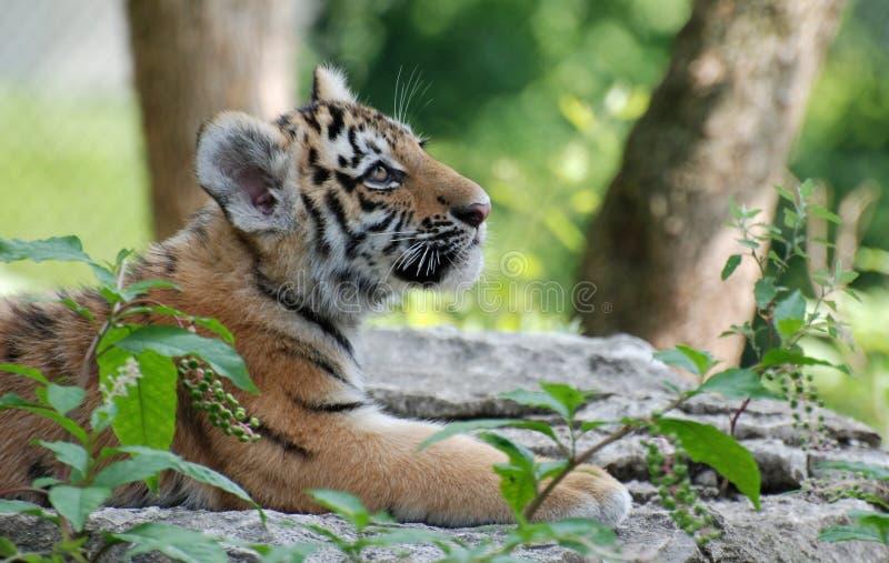 Perfil do filhote de tigre foto de stock royalty free