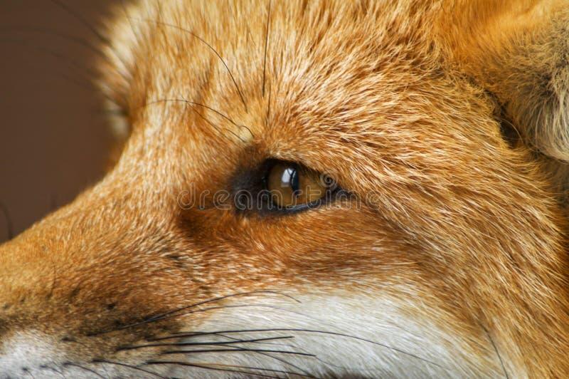 Perfil do Fox vermelho fotos de stock royalty free