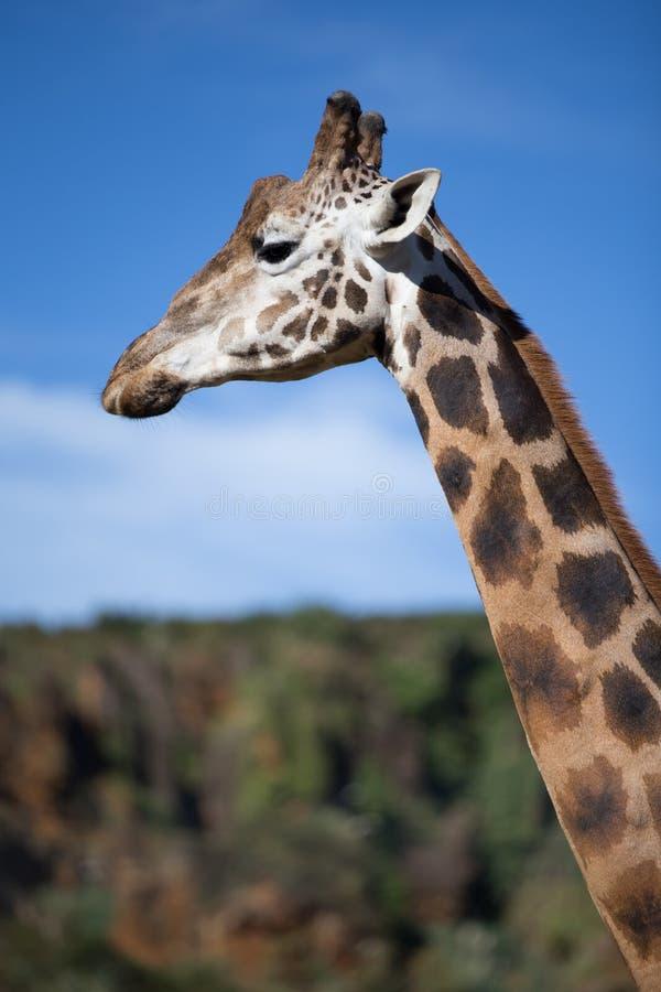 Perfil do girafa foto de stock
