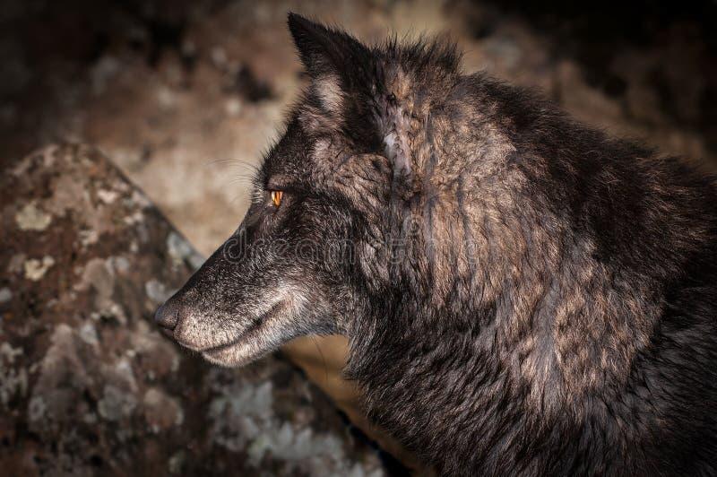 Perfil do lúpus de Grey Wolf Canis imagem de stock
