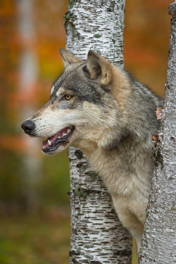 Perfil do lúpus de Grey Wolf Canis entre o outono das árvores de vidoeiro foto de stock royalty free