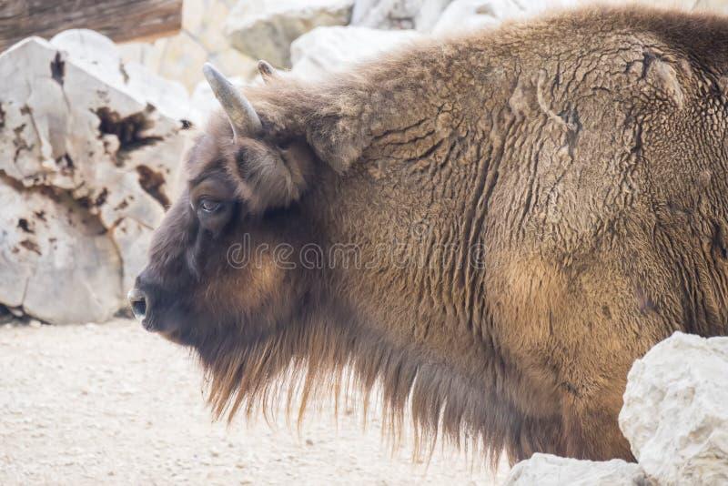 Perfil do lado de Bison Buffalo do americano foto de stock