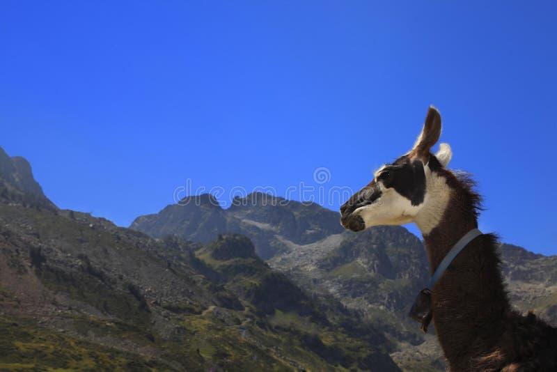 Perfil do Lama e montanhas de Pyrenees fotos de stock