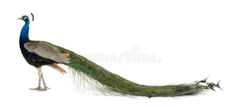 Perfil do Peafowl indiano masculino imagem de stock