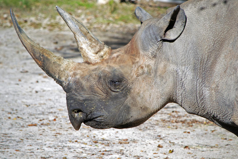 Perfil do rinoceronte fotografia de stock royalty free