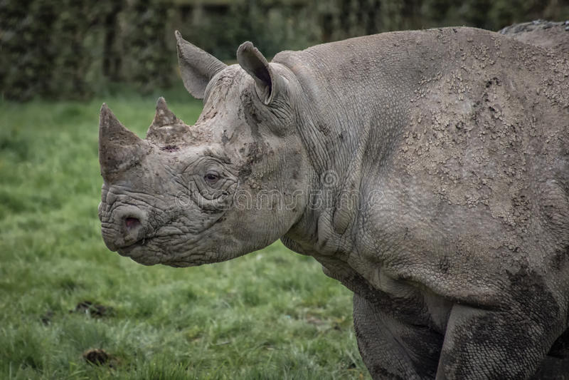 Perfil do rinoceronte imagem de stock