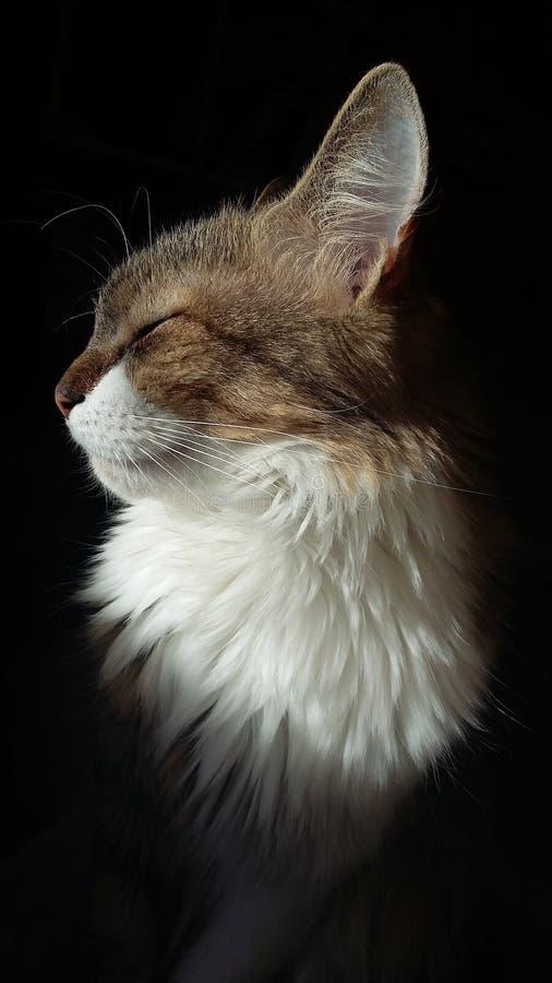 Perfil do ` s do gato foto de stock royalty free
