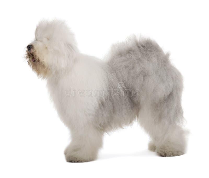 Perfil do Sheepdog inglês, estando foto de stock