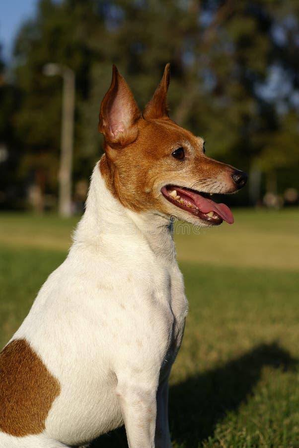 Perfil do terrier de Fox do brinquedo fotografia de stock