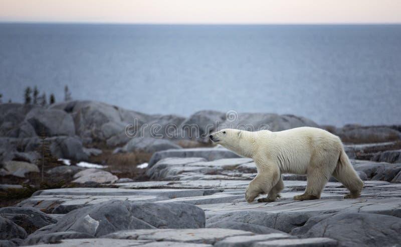 Perfil do urso polar foto de stock royalty free
