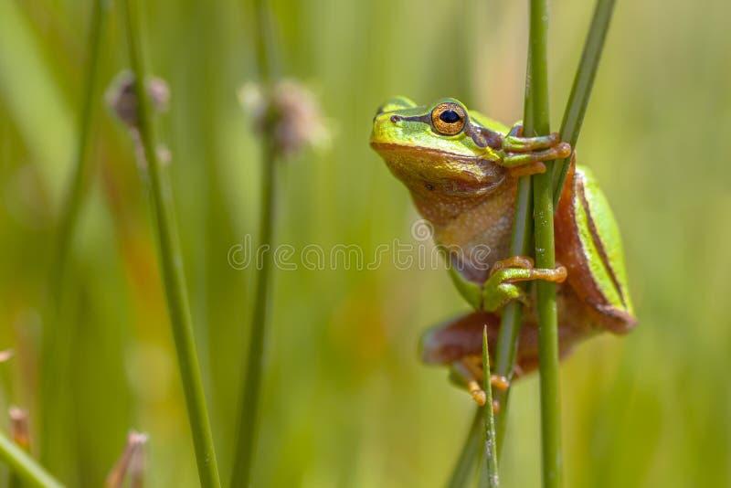 Perfil europeo verde del en de la rana arbórea que sube imagen de archivo libre de regalías
