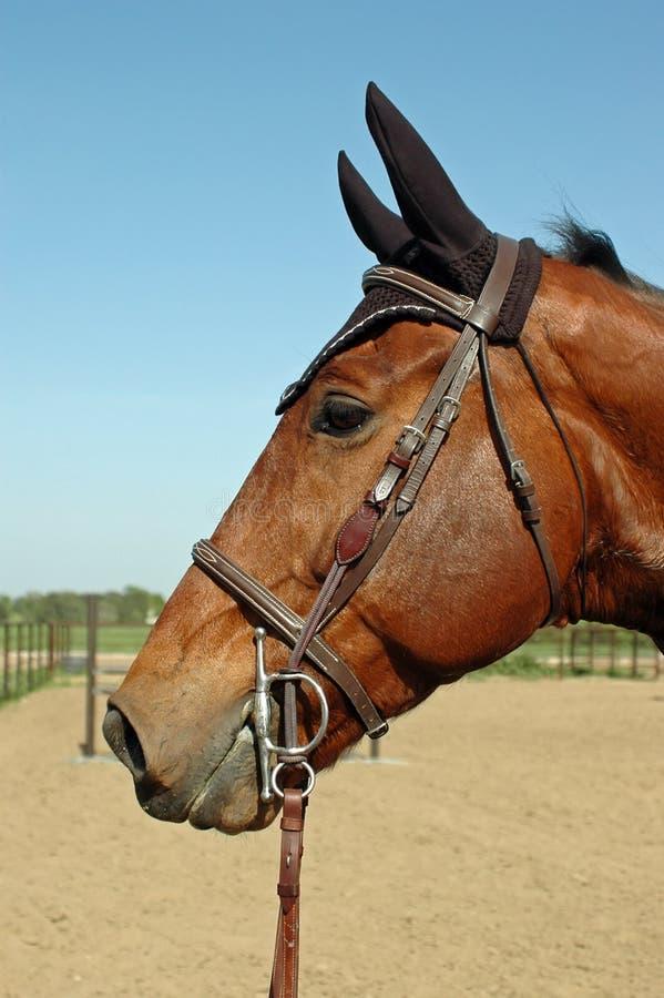 Perfil Gelding de Holsteiner imagens de stock royalty free