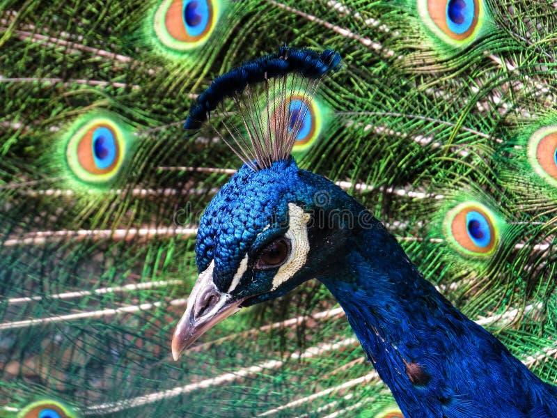 Perfil lateral de um pavão bonito colorido imagem de stock royalty free