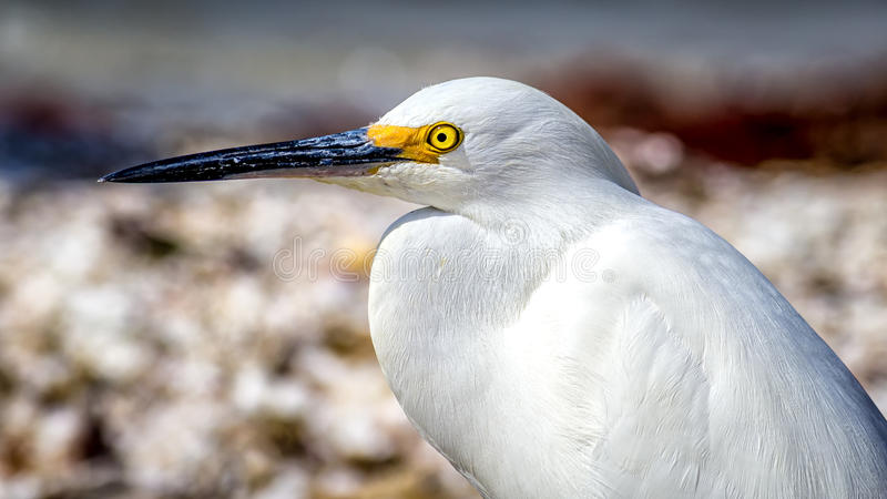 Perfil na praia de Florida, imagem do Egret da cor, dia fotos de stock